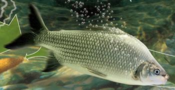 Peixes Piracema - Rio Xingú - Xingu River
