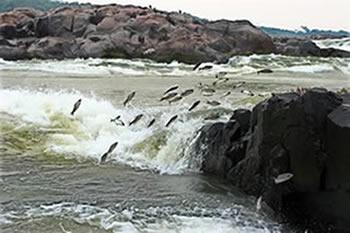 Piracema - Rio Xingú - Xingu River