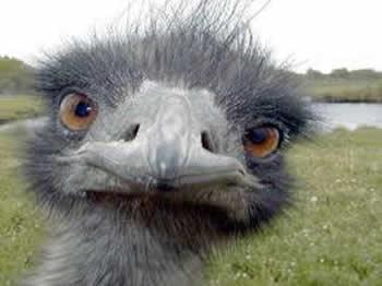 Pescoço do Avestruz - (Struthio Camelus)